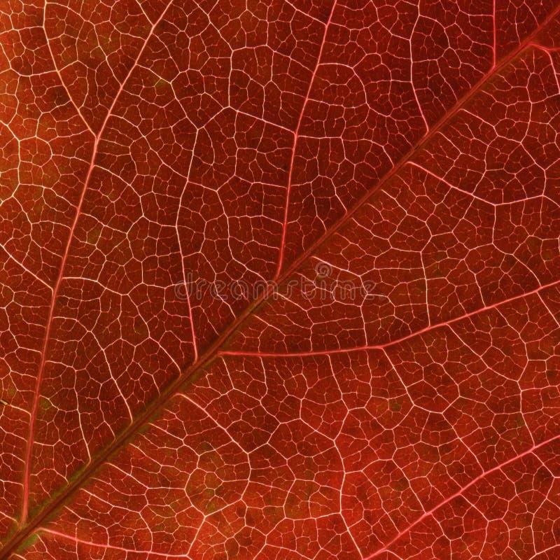 Las venas rojas de la hoja de la enredadera de Virginia del otoño se cierran para arriba.
