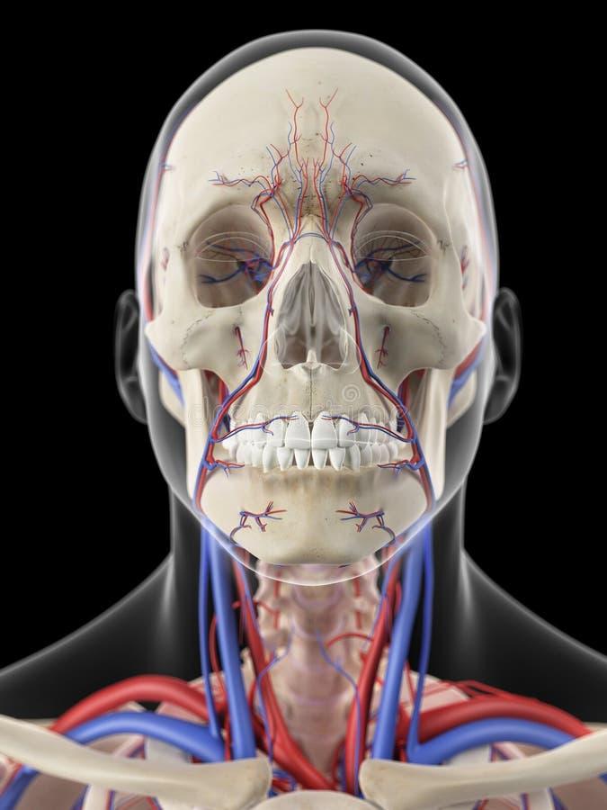 Las venas y las arterias de la cabeza stock de ilustración