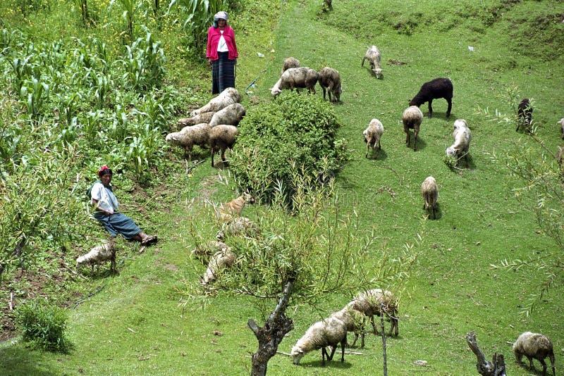 Las viejas mujeres indias guatemaltecas reúnen su multitud de las ovejas fotografía de archivo libre de regalías