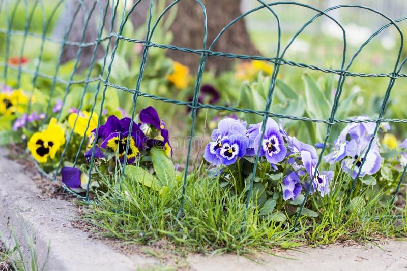 Las violetas violetas, amarillas y azules en una primavera cultivan un huerto foto de archivo