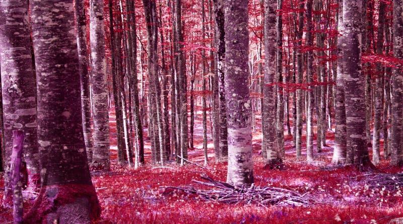 Las w czerwieni w wieczór zdjęcie royalty free