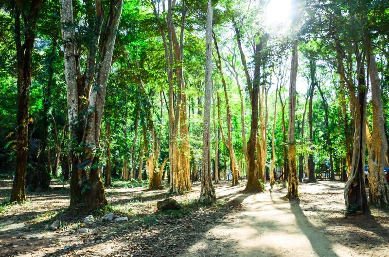 Las w Konglor wiosce dla dżungla pakunku obraz stock