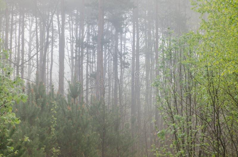 Download Las w mgłowym ranku obraz stock. Obraz złożonej z brzozy - 53775561