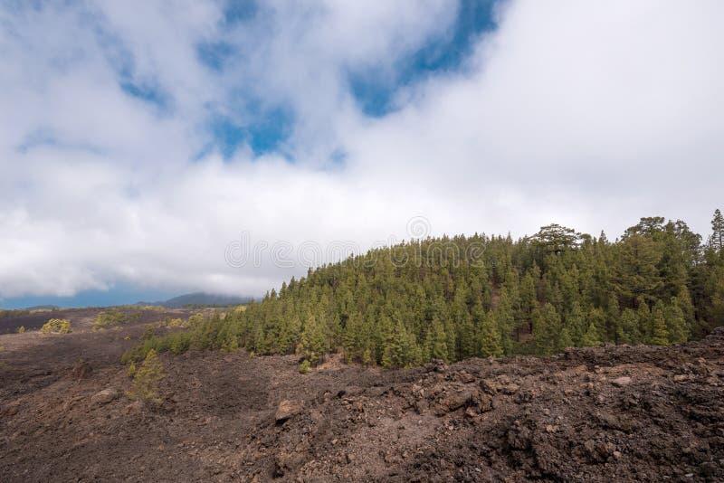 Las w powulkanicznym krajobrazie Teide park narodowy, Tenerife zdjęcia royalty free