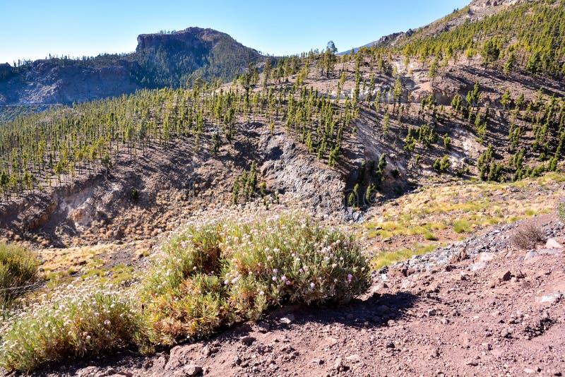 Las W Teide parku narodowym Tenerife obraz royalty free