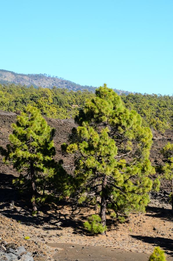 Las W Teide parku narodowym Tenerife zdjęcia royalty free