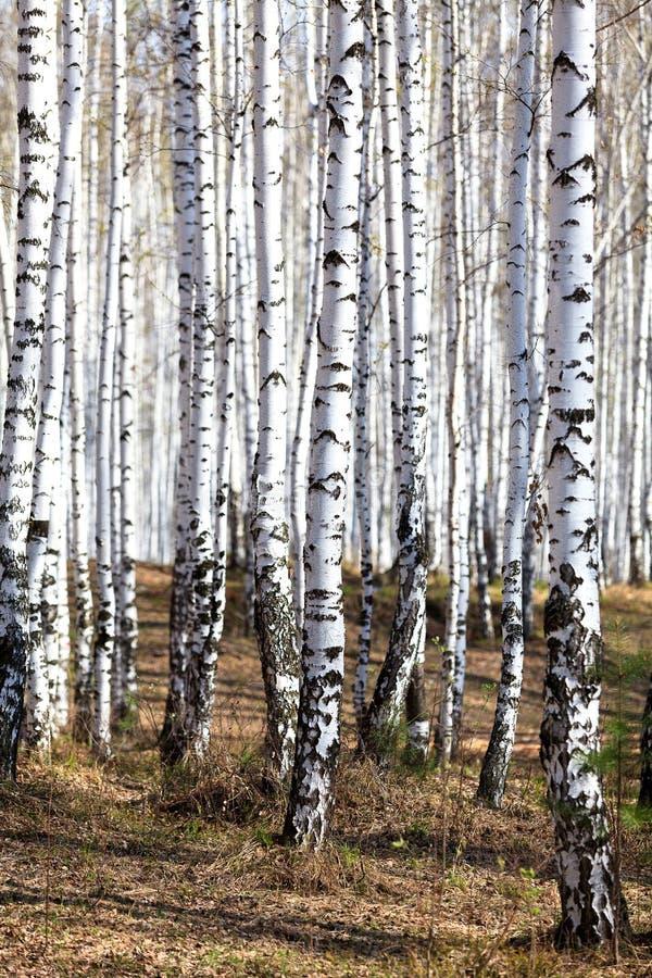 Las w wiosna czasie obrazy royalty free
