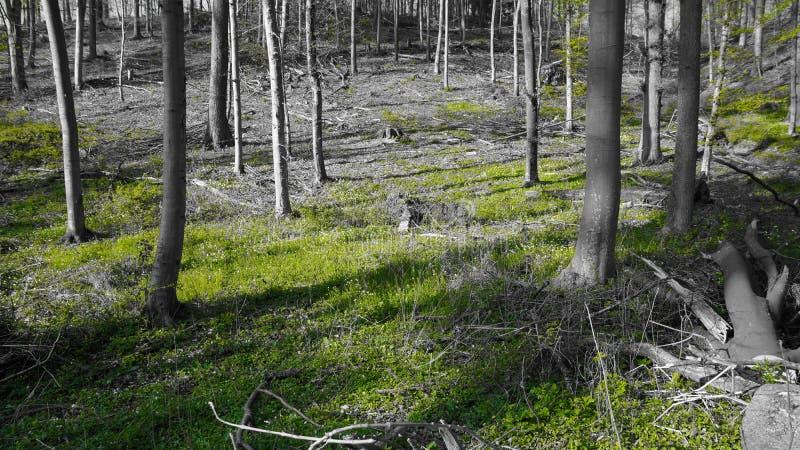 Las w wiosny czerni bielu zieleni sunbeam zdjęcie royalty free