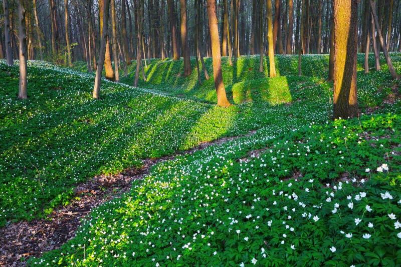 Las z białymi kwiatami zdjęcie royalty free