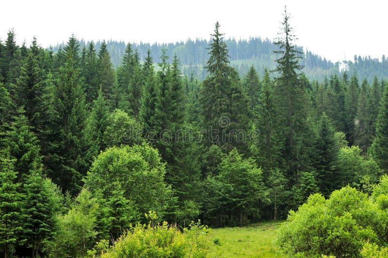 Las z jedlinowymi drzewami obrazy royalty free