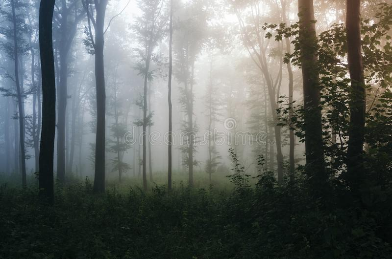 Las z mgłą przy zmierzchem zdjęcia royalty free
