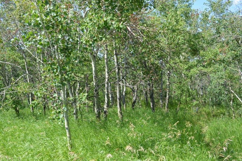 Las z osiką i innymi drzewami w pustkowiu fotografia stock
