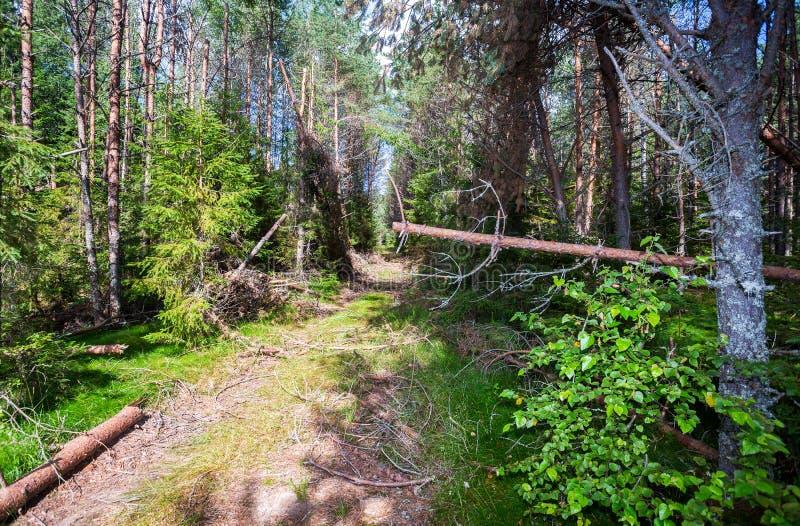 Las z zielonymi świerczynami i sosnami w lecie  fotografia stock