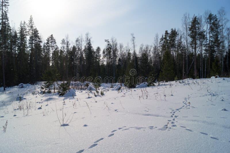 Las zakrywający w śnieżnym i świeżym odcisku stopy obraz royalty free
