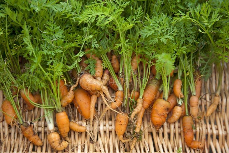 Las zanahorias cavaron recientemente y de forma fotos de archivo libres de regalías