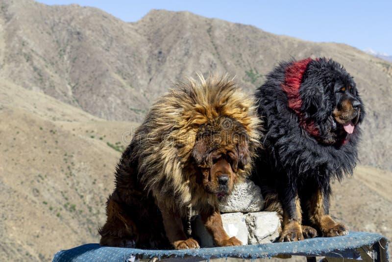 Lasa Tíbet anterior ahora China, mastines tibetanos fotos de archivo libres de regalías