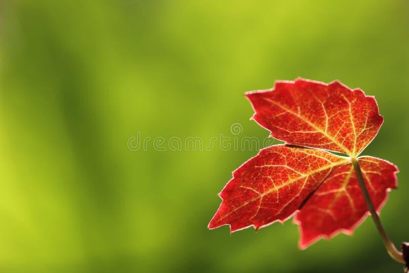 lascia il colore rosso immagini stock libere da diritti