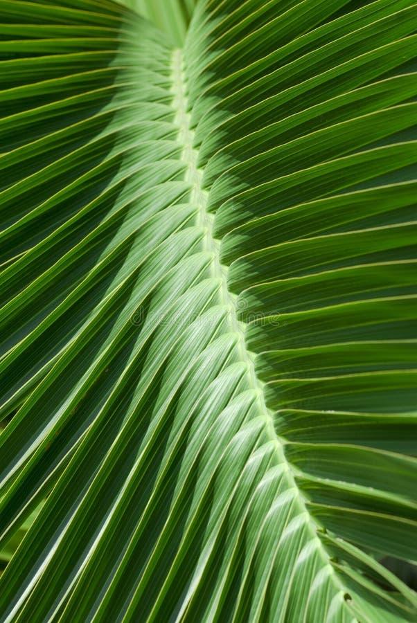 lascia il reticolo della palma tropicale immagini stock
