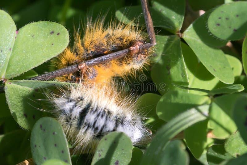 Lasiocampa trifolii fotografia stock