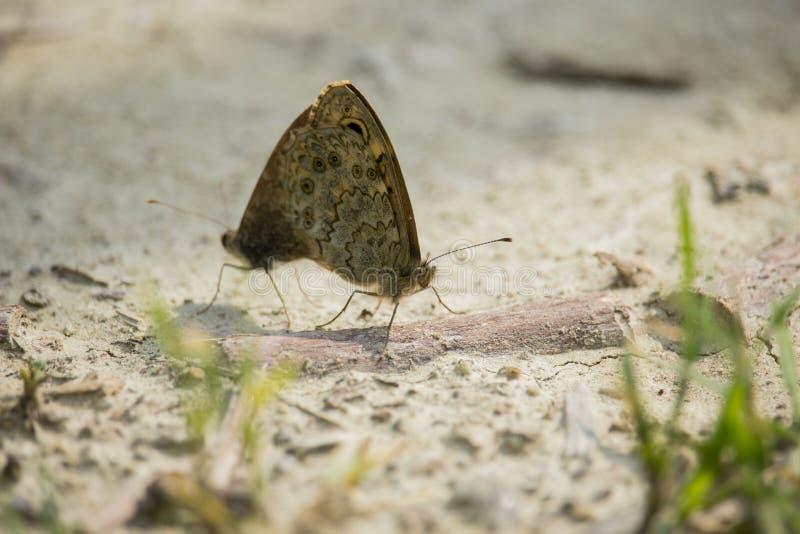 Lasiommata maera, väggfjärilarna arkivfoto