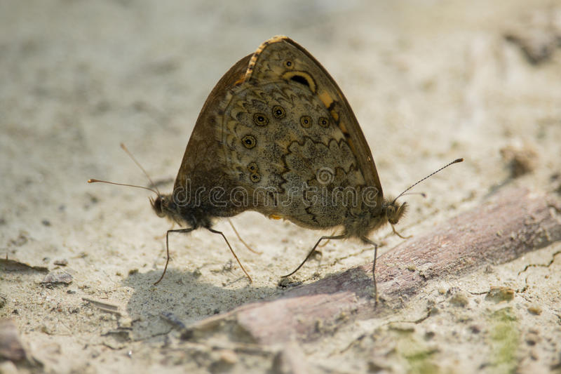 Lasiommata maera, väggfjärilarna royaltyfria bilder