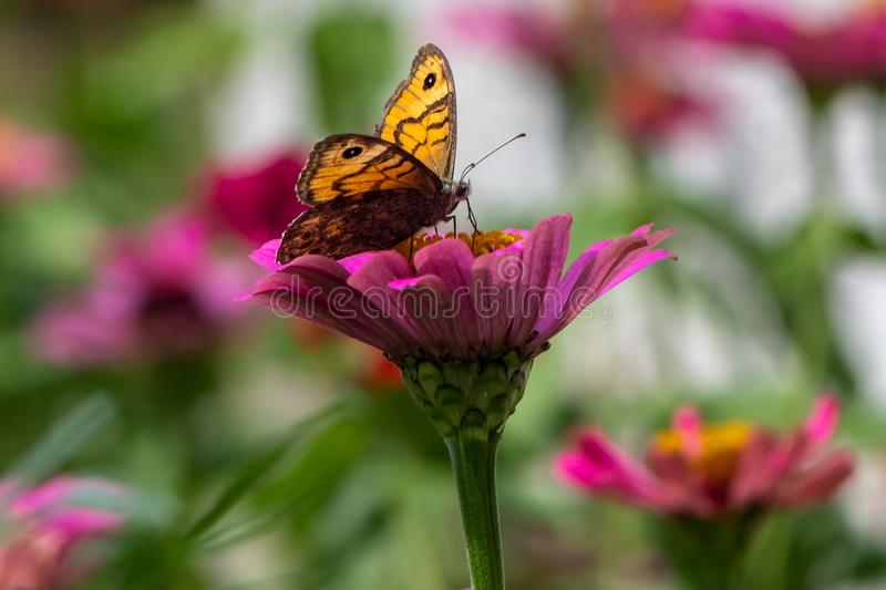 Lasiommata megera , Wall Brown Butterfly on flower royalty free stock images