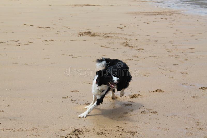Laska - Border collie spring på stranden royaltyfri bild