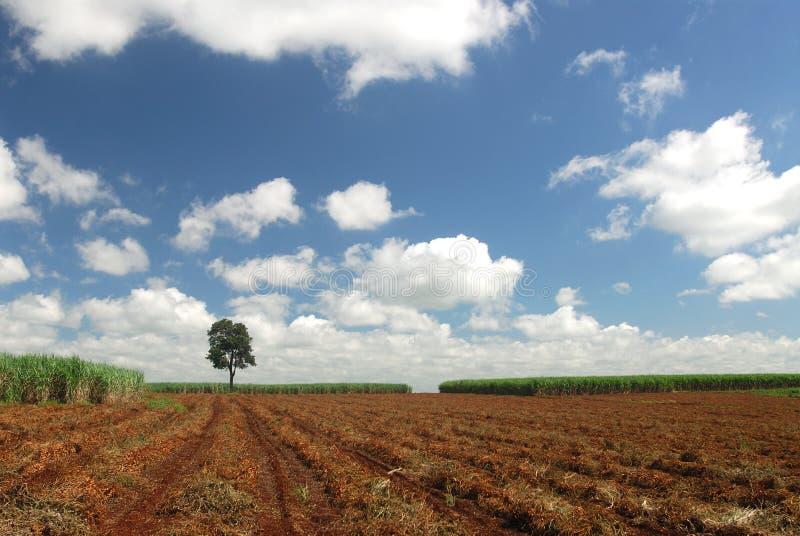laski plantacji cukru obrazy royalty free