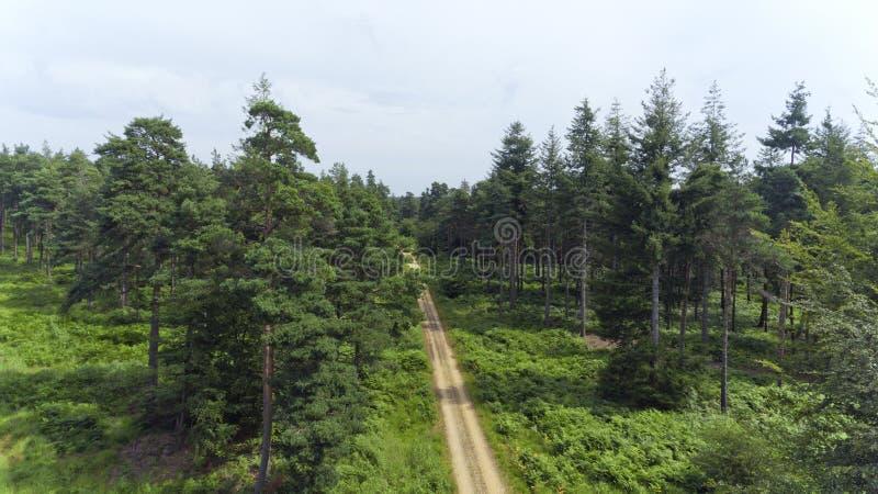 Lasowa ścieżka między sosnami i zieloną paprocią obraz royalty free