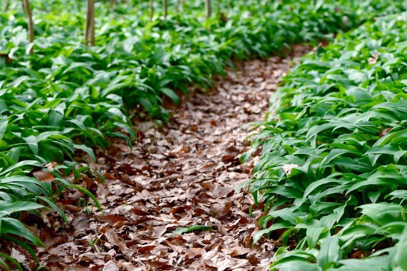 Lasowa ścieżka przez dzikiego czosnku zdjęcie stock