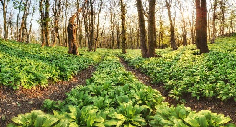 Lasowa ścieżka przez dzikiego czosnku - Allium ursinum zdjęcie stock