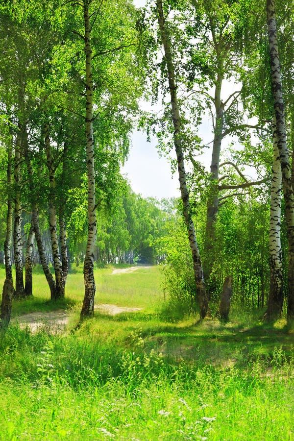 Lasowa brzoza obraz royalty free