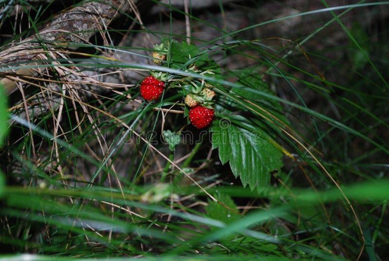 Lasowa jagoda zdjęcie royalty free