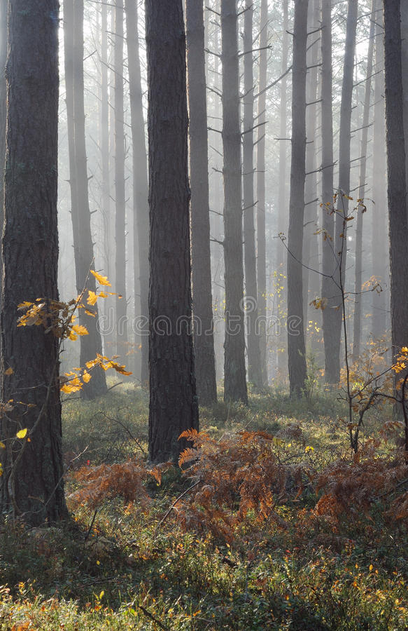 lasowa jesień mgła zdjęcie stock