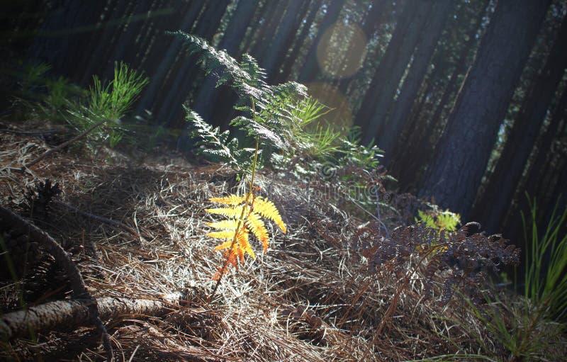 Lasowa jesieni paproć w promieniu światło słoneczne zdjęcia stock