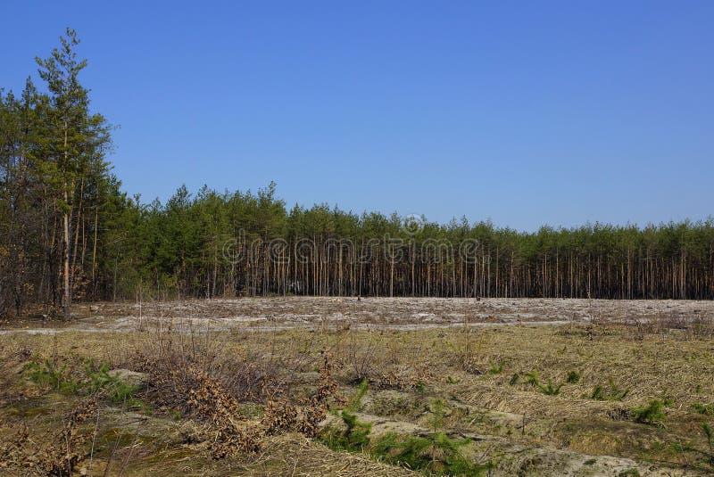 Lasowa krawędź z łąką przed liczbą sosny przeciw niebieskiemu niebu zdjęcia royalty free