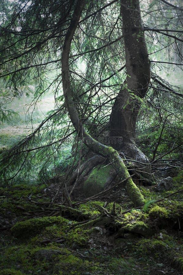 lasowa magia fotografia stock