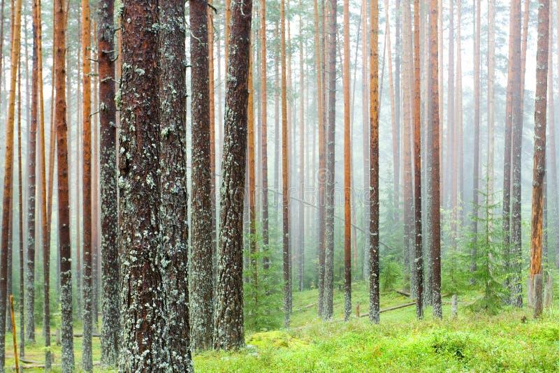 lasowa mgła zdjęcia royalty free