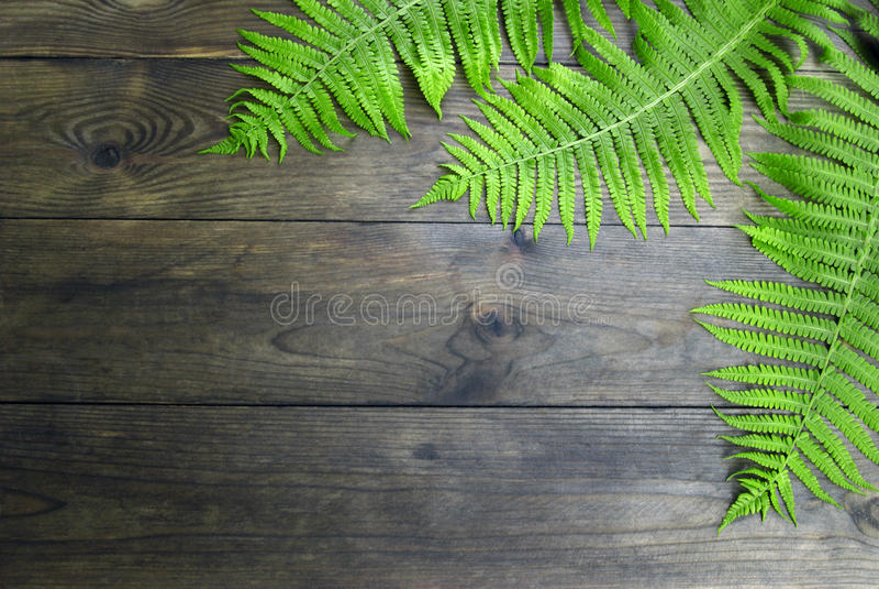 Lasowa paproć obrazy stock