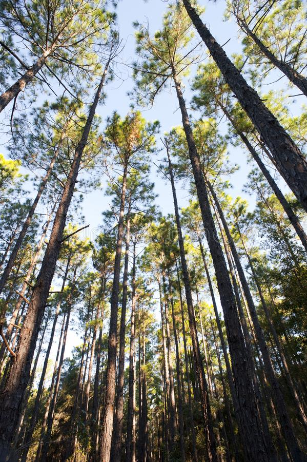 Lasowa plantacja ciency wysocy drzewa obrazy stock