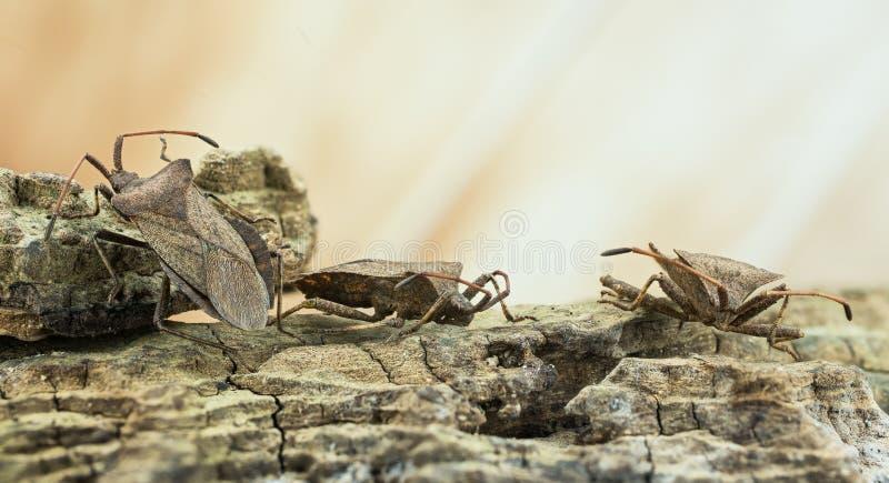 Lasowa pluskwa, Czerwononogi Shieldbug, Pentatoma rufipes obrazy royalty free