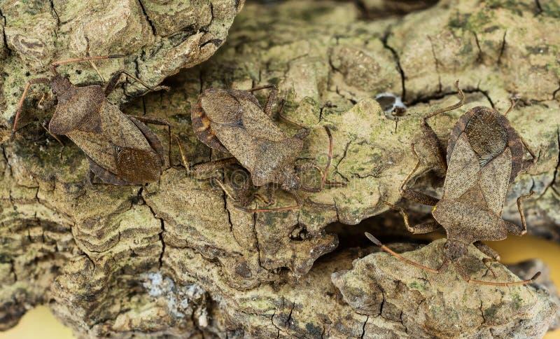 Lasowa pluskwa, Czerwononogi Shieldbug, Pentatoma rufipes zdjęcia stock
