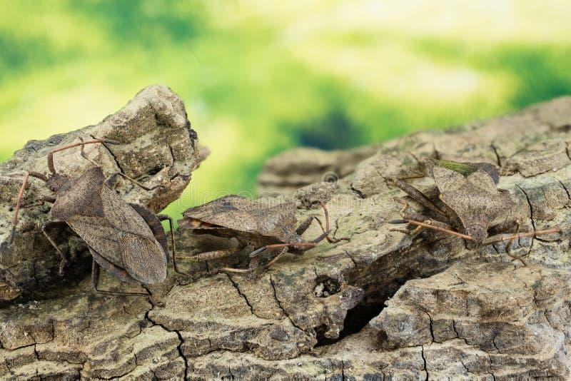 Lasowa pluskwa, Czerwononogi Shieldbug, Pentatoma rufipes obraz stock
