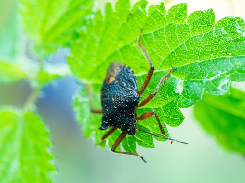 Lasowa pluskwa, czerwononogi shieldbug Pentatoma rufipeson zielony liść fotografia royalty free