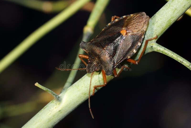 Lasowa pluskwa lub czerwononodzy shieldbug Pentatoma rufipes fotografia stock