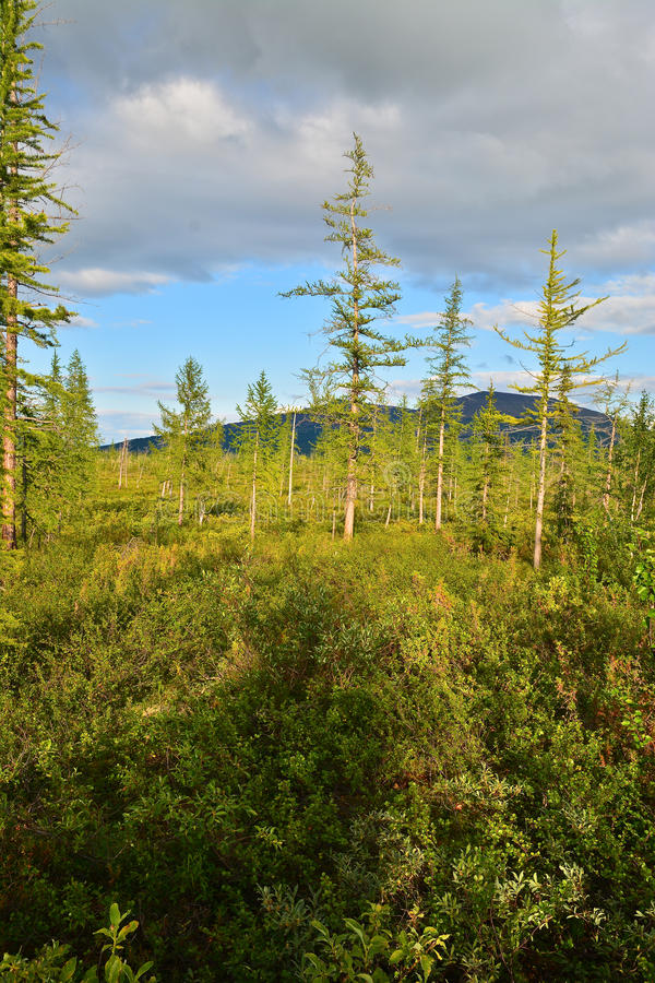 Lasowa tundra w lecie zdjęcia royalty free