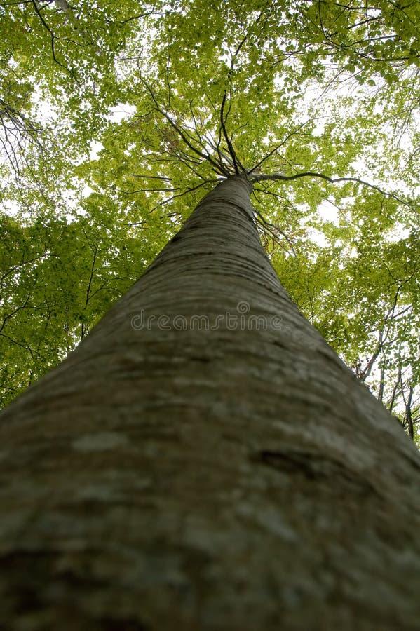 lasowa wysoka drzewna dziewica obrazy royalty free