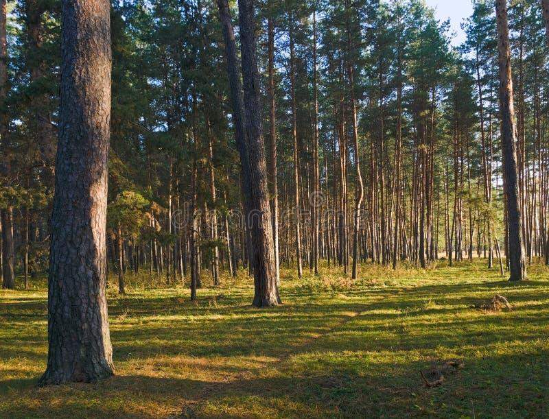 lasowe sosny zdjęcia royalty free