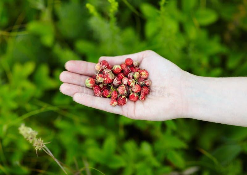 Lasowe truskawki w ręce zdjęcia stock