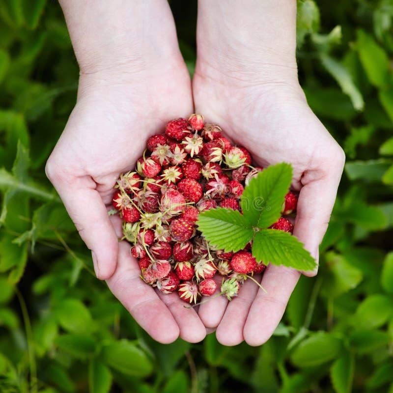 Lasowe truskawki w rękach obraz stock